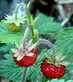 Wald-Erdbeere 8 Juni 2003.JPG