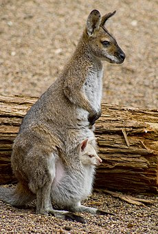 Wallaby & Joey (7988301559).jpg