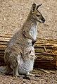 Wallaby & Joey (7988301559).jpg