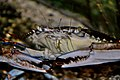 Washington DC Zoo - blue crab 1.jpg