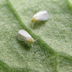 Whitefly - Whiteflies (Trialeurodes vaporariorum)