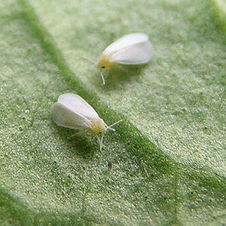 Whitefly - Whiteflies (Trialeurodes vaporariorum)