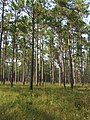 Well Managed Longleaf Pine with Good Understory (5961121498).jpg