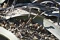 Welwitschia mirabilis - Plante mâle avec strobiles fin de floraison.jpg