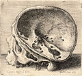 Wenceslas Hollar - Skull with the left side of cranium removed.jpg