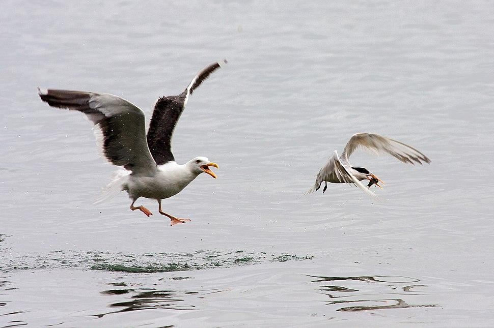 Western Gull chasing Elegant Tern