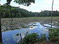 Wetlands of Calvert Cliffs State Park 04.jpg