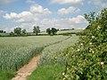 Wheat fields on Prickley Farm - geograph.org.uk - 456703.jpg