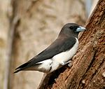 White-breasted Woodswallow at nest crop.jpg