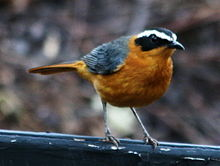 White-browed Robin-chat RWD.jpg
