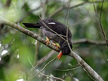 White-chinned Thrush RWD3.jpg