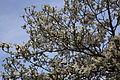 White-dogwood-tree-sky-spring - West Virginia - ForestWander.jpg