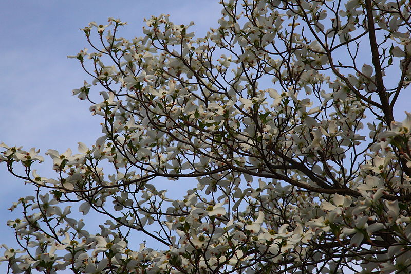 File:White-dogwood-tree-sky-spring - West Virginia - ForestWander.jpg
