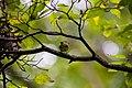White-eyed vireo (44109607895).jpg