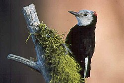 White-headed woodpecker.jpg