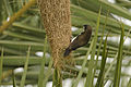 White-rumped Munia exploring Baya Weaver Nest.jpg