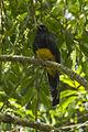 White-tailed Trogon - Intervales NP - Brazil S4E0094 (12797243653).jpg