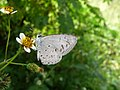 White Banded Hedge Blue (5269273263).jpg