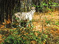 White Tiger 8.JPG