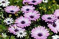 White and Purple African Daisy Mix PLT-FL-DS-AD-3.jpg