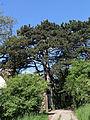 Wien-Penzing - Naturdenkmal 27 - Dehnepark - geschützte Schwarzföhre (Pinus nigra) neben der Ruinenvilla.jpg