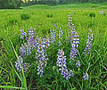 Wild lupine in grass.jpg