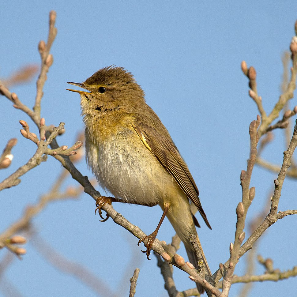 Willow Warbler Phylloscopus trochilus