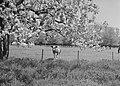 Woeste gronden, natuurschoon, boomgaarden, bloei, weide, koeien, Landgoed Soelen, Bestanddeelnr 162-1219.jpg