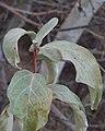 Wolf Willow (Elaeagnus commutata) - Saskatoon, Saskatchewan.jpg