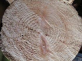 Wood slice from Douglas Fir.JPG