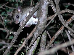 Woodland Thicket-Rat (Grammomys dolichurus) (6042197622).jpg