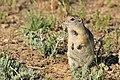 Wyoming Ground Squirrel on Seedskadee National Wildlife Refuge (27035650674).jpg
