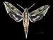 Xylophanes lichyi MHNT CUT 2010 0 181 Panama Canal zone - male dorsal.jpg
