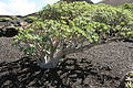 Yaiza - LZ-704 - Euphorbia regis-jubae 09 ies.jpg