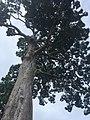 Yang Na Yai Tree 2.jpg