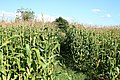 Yarcombe, footpath through maize - geograph.org.uk - 225294.jpg