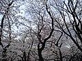 Yasukuni sakura.JPG