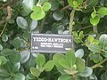 Yeddo-Hawthorn at Brooklyn Botanic Garden Picture 1483.jpg