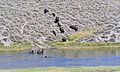 Yellowstone Bison river crossing 2011.JPG 14.jpg