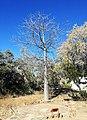 Young Baobab Adansonia digitata - Botswana Botanical gardens 1.jpg
