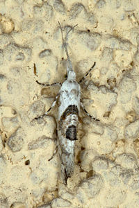 Ypsolopha asperella, Lodz(Poland)(js).jpg