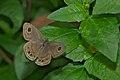 Ypthima baldus-Kadavoor-2015-08-22-001.jpg