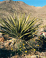 Yucca Plant at the Nevada Test Site 2.jpg