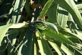 Yucca filamentosa 10zz.jpg