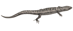 Yunnan lizards - cutted out Tropidophorus berdmorei.png