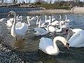 Zagreb Bundek Swans.jpg