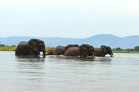 Zambezi – Elephants crossing the river 12.11.2009.jpg