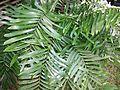 Zamia amblyphyllidia (sin. Zamia erosa), Puerto RIco.jpg