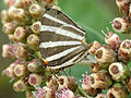 Zebra-striped Hairstreak (16470824260).jpg