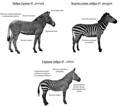 Zebra species (RU).png